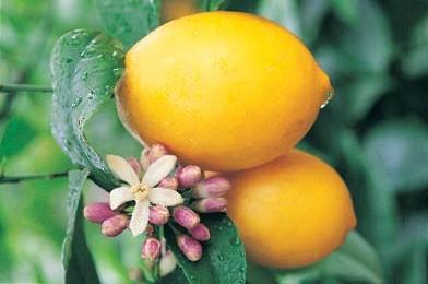Ανθός Λεμονιάς
