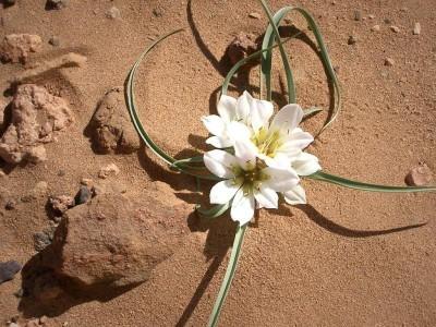 Ανθός Ερήμου